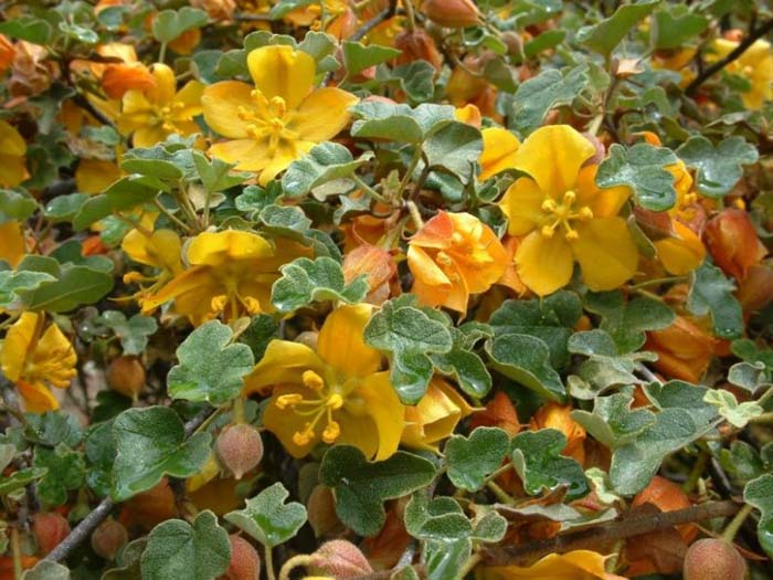 Plant photo of: Fremontodendron 'El Dorado Gold'