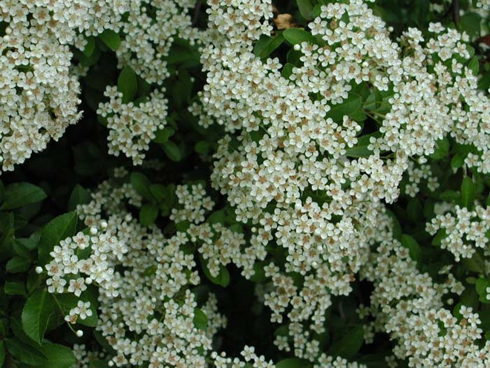 Plant photo of: Pyracantha coccinea 'Lalandei'