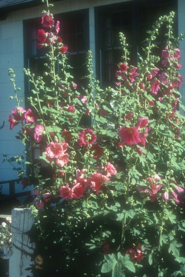 Plant photo of: Alcea rosea