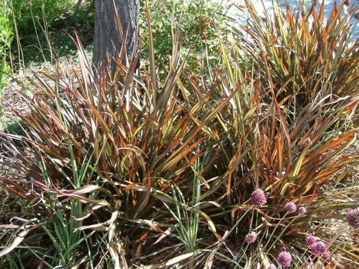 Plant photo of: Phormium tenax 'Jack Spratt'