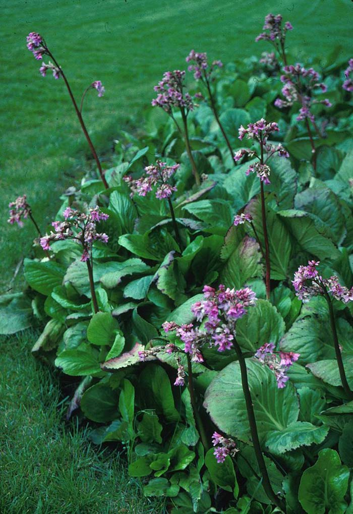 Plant photo of: Bergenia cordifolia