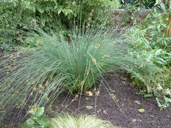 Plant photo of: Juncus patens