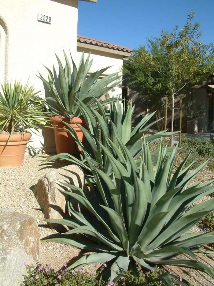 Plant photo of: Agave weberi