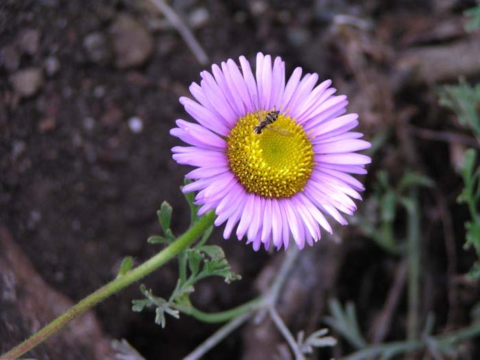 Plant photo of: Erigeron glaucus