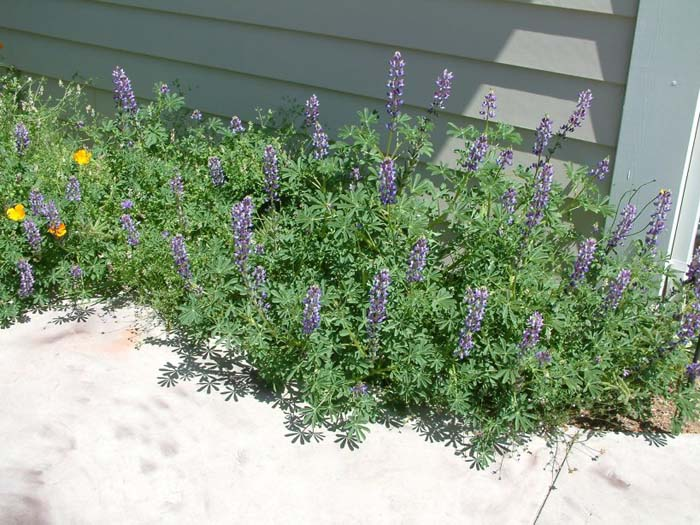 Plant photo of: Lupinus succulentus
