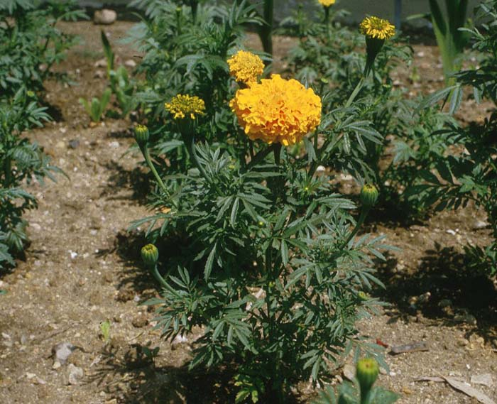 Plant photo of: Tagetes erecta