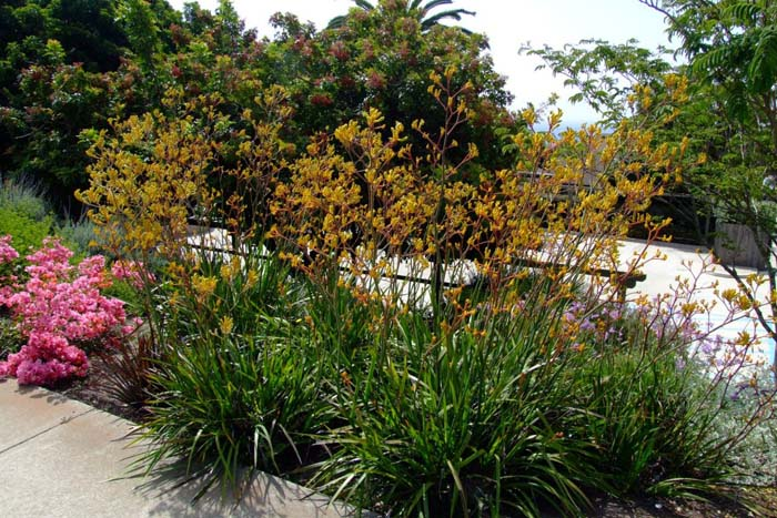 Plant photo of: Anigozanthos 'Yellow'