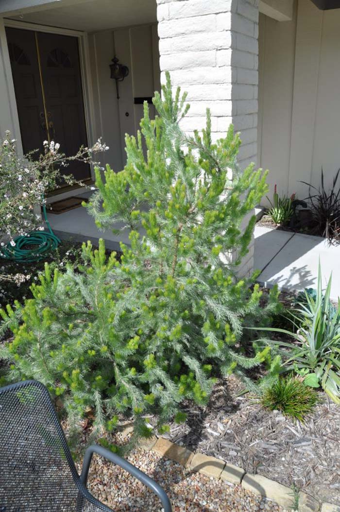 Plant photo of: Adenanthos sericeus