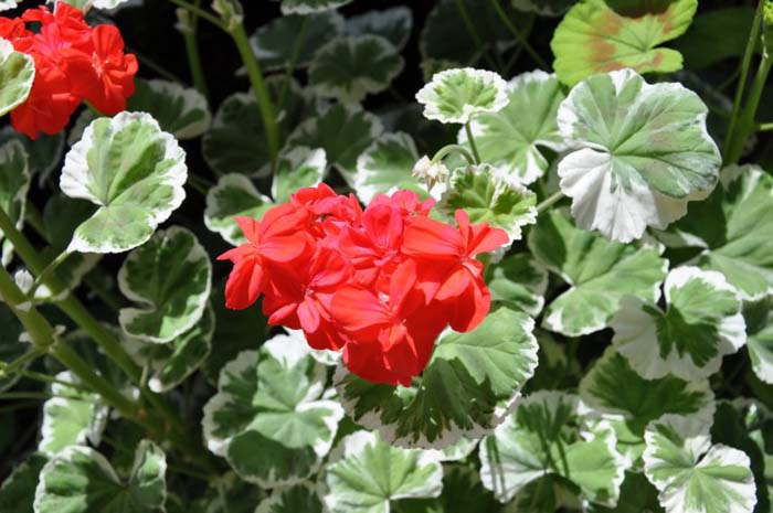 Plant photo of: Geranium wilhelm langguth