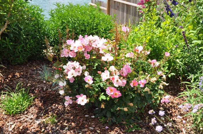 Plant photo of: Rosa 'Rainbow Knockout'