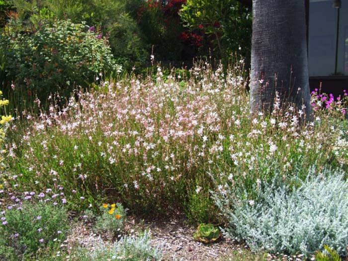 Plant photo of: Gaura lindheimeri