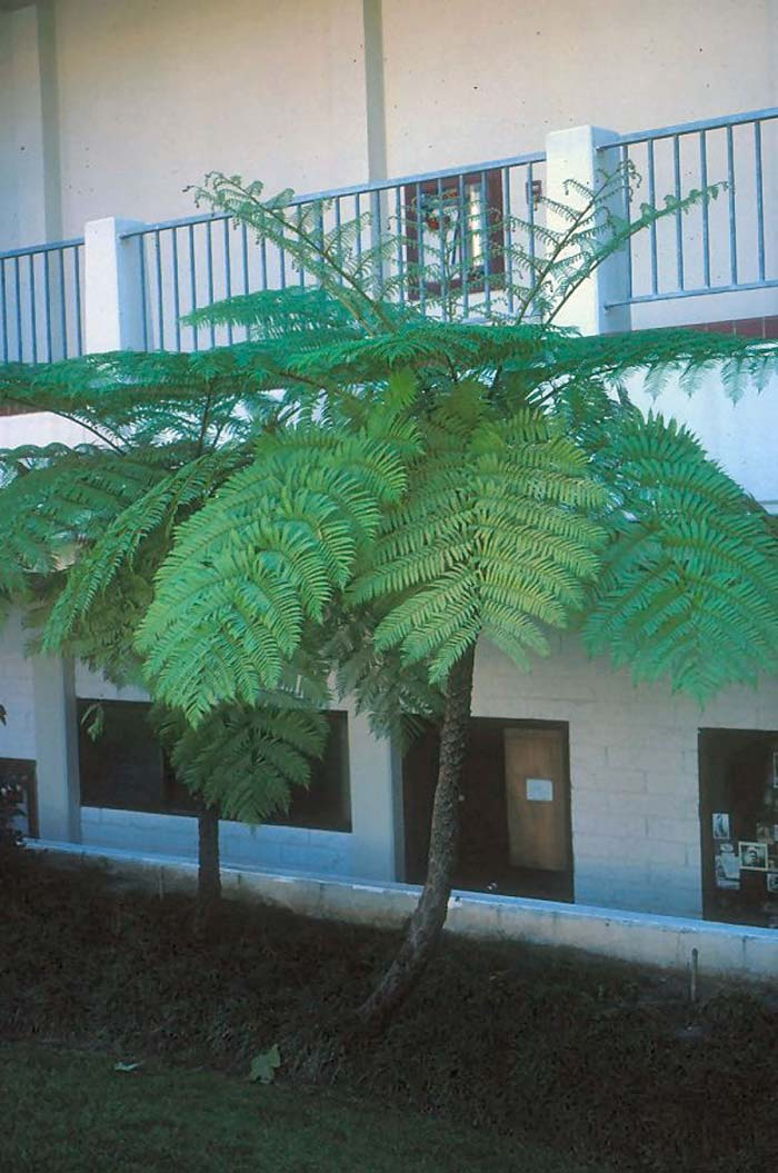 Plant photo of: Cyathea cooperi
