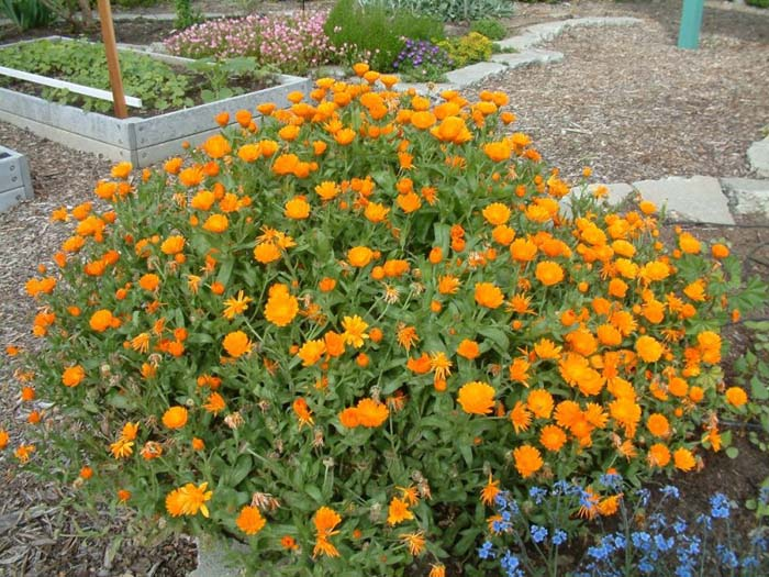 Plant photo of: Calendula officinalis