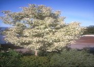 Flamingo Box Elder