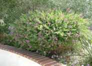 Sweet-Pea Shrub