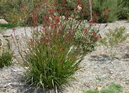Kangaroo Paws, Red