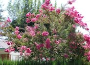 Crape Myrtle, General Varieties