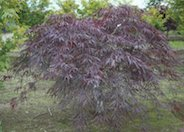 Inabashidare Japanese Maple