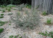 Gray Honey Myrtle