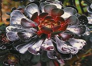 Purple Tree Aeonium